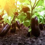 growing aubergines
