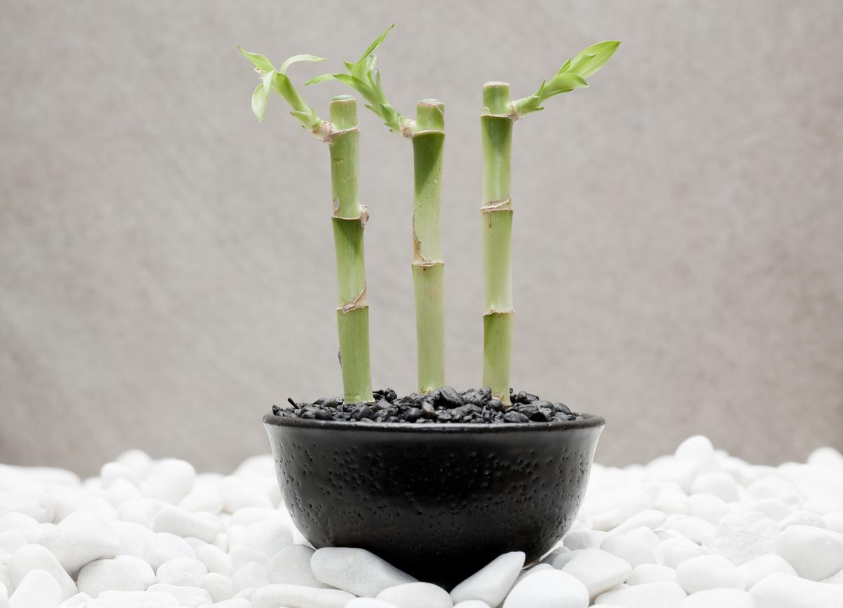 Three green lucky bamboos