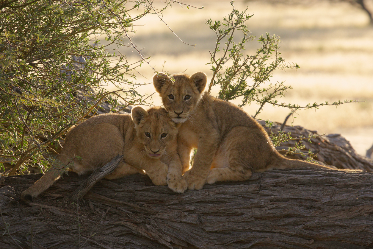 Pair of young lion cubs sitting together on a stump