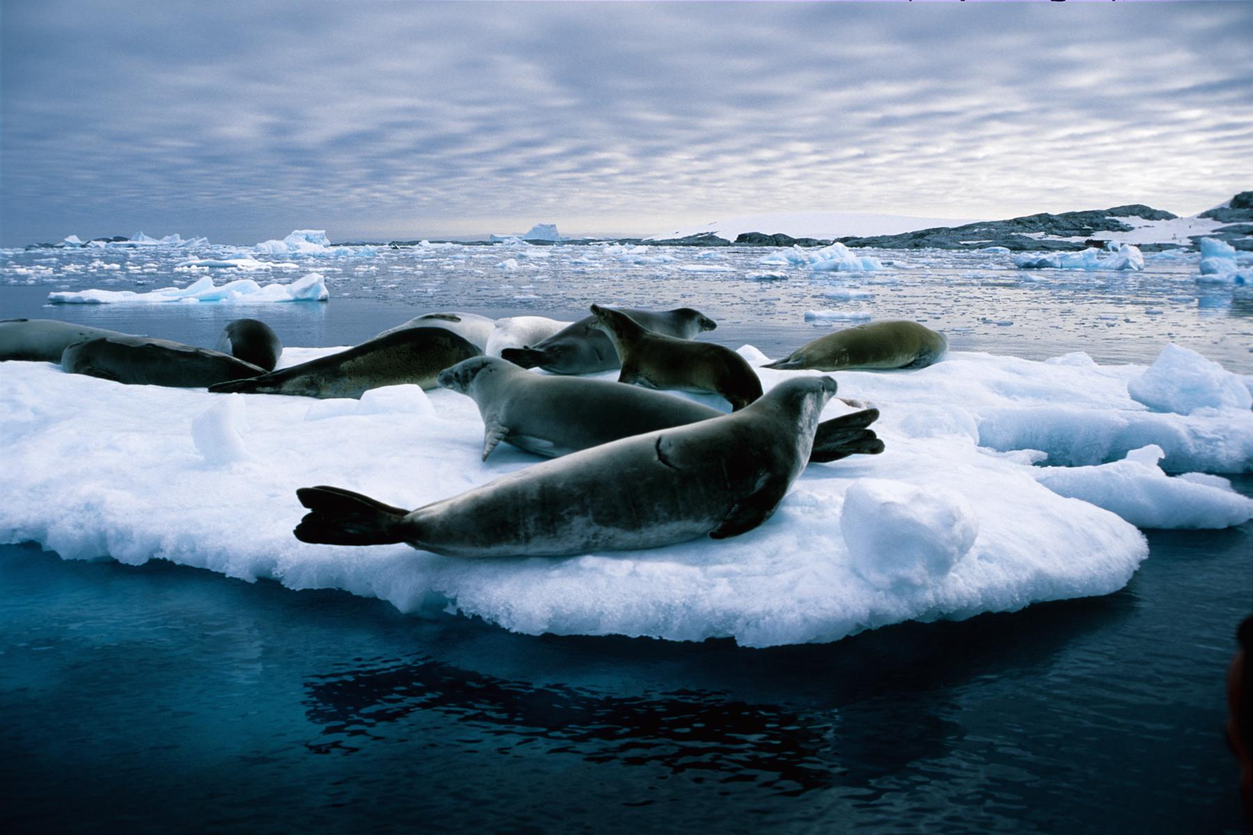 Group of seals in Antarctica