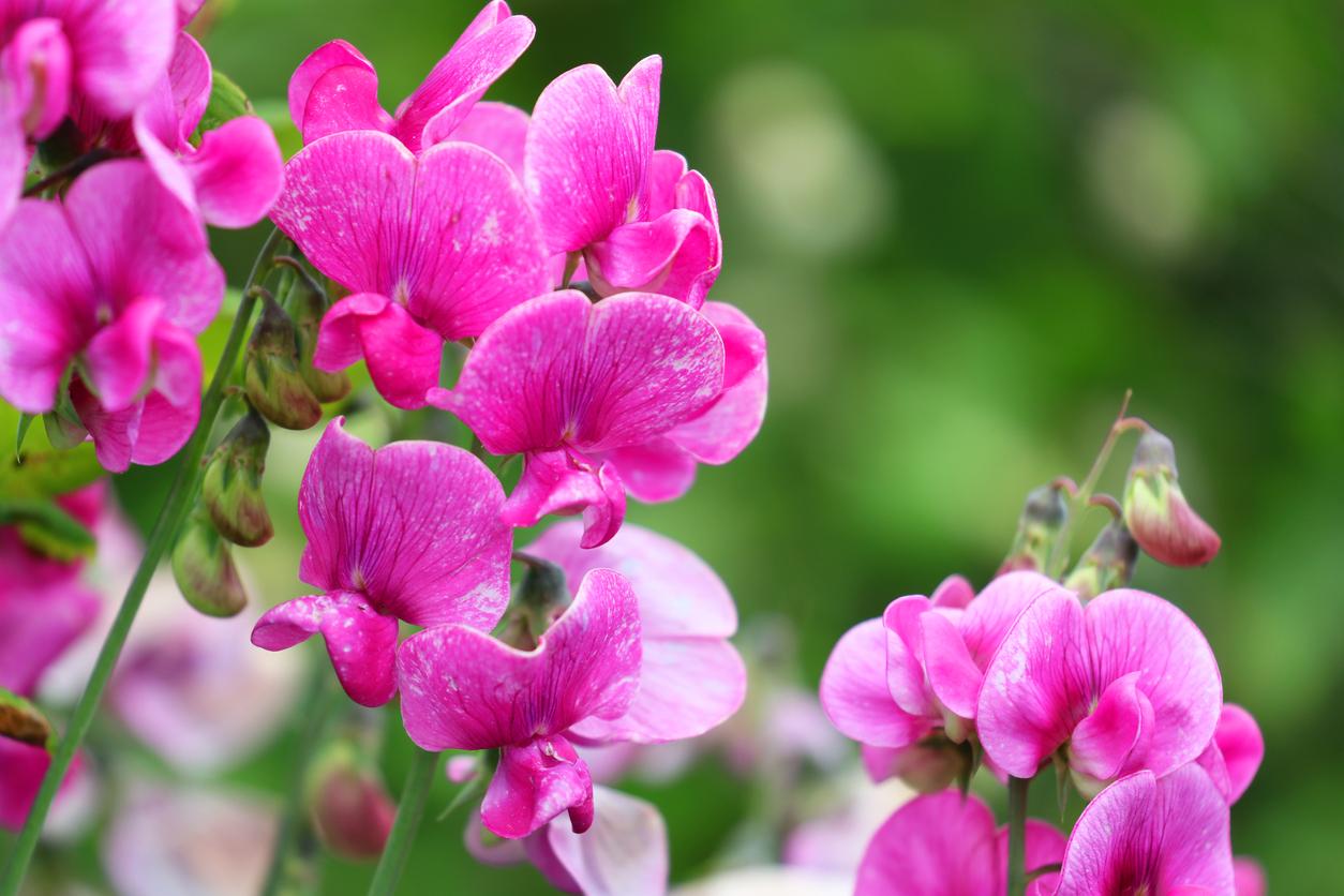 Pink Sweetpea