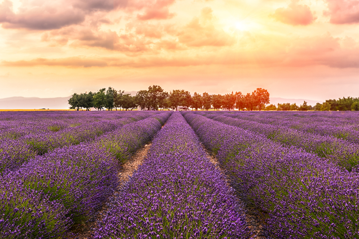 Valensole -lavender land