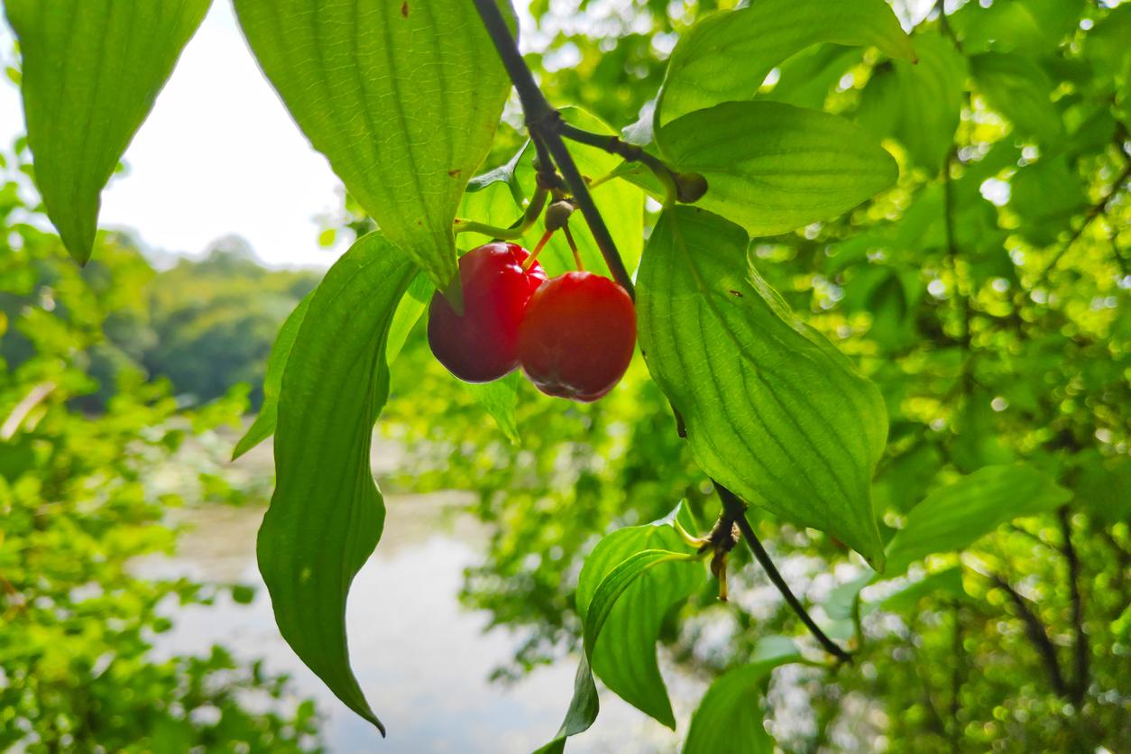Close-up on Cornelian cherries