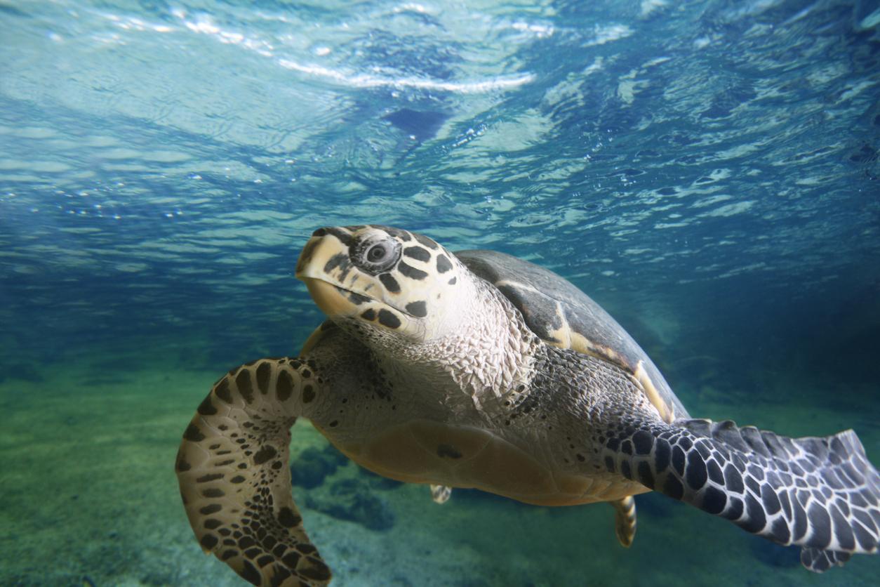 Big turtle floating in the sea. Mauritius